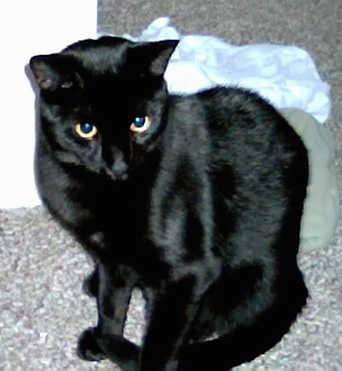 Lilly the black cat sitting on a carpet