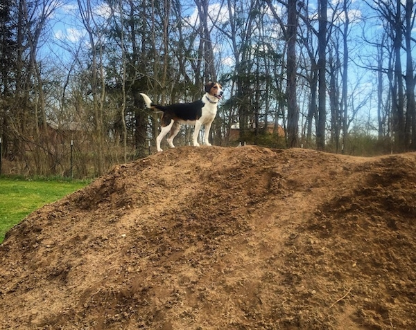 A tri-color black, white and tan dog standing at the top of a large dirt mound with leafless trees behind it.