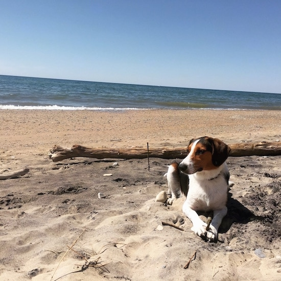 A black, white and tan Border Beagle is laying down on a sandy beach with one of the Great Lakes behind it and it is looking to the left.