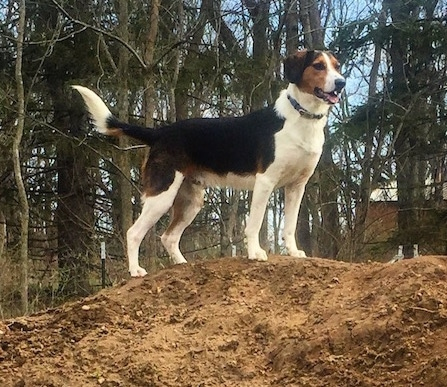Close-up - A tri-color black, white and tan dog standing at the top of a large dirt mound with leafless trees behind it.