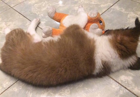 The back of a brown with white and black Border Collie Bernard puppy is sleeping on a tiled floor and in front of it is an orange and white plush toy.