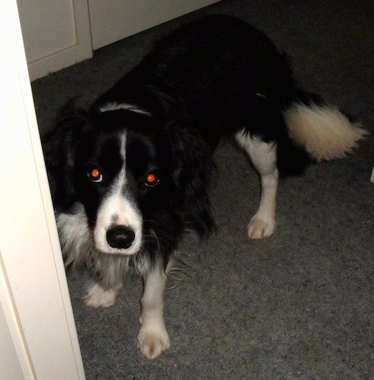 The front left side of a black and white Border Collie Cocker that is peering around the corner of a doorway.