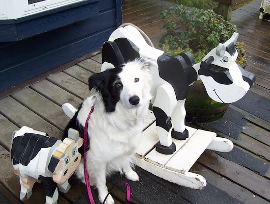 Jaxon the Border Collie sitting in the middle of two cow toys