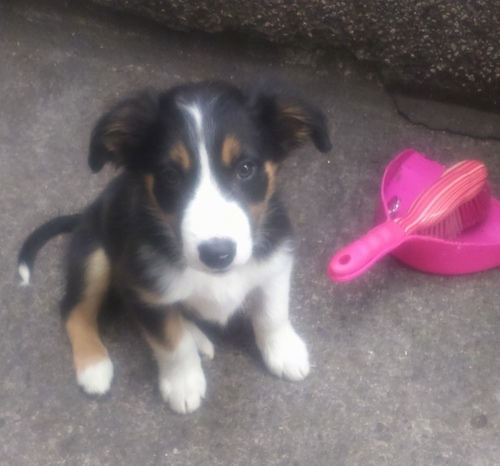 Rolo the Border Collie puppy sitting next to a hot pink dust pan and broom