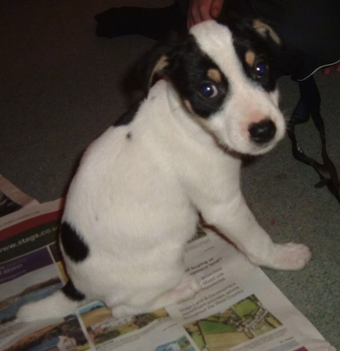 A white, black and tan tricolor puppy sitting on newspaper inside of a house turning and looking over at the camera.