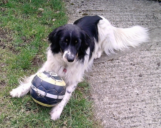 The front left side of a white and black Bordoodle that is laying across grass with a soccer ball between its front paws and it is looking forward.
