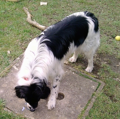A Border Collie mixed with a Poodle  dog sniffing the ground where milk spilled. There is a tennis ball, a dog bone and a large stick in the grass behind him.