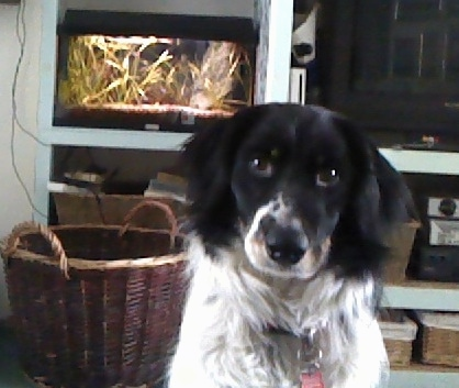 A Border Collie mixed with a Poodle  dog sitting down looking at the camera in a den in a house with a fish tank and wicker baskets in the background