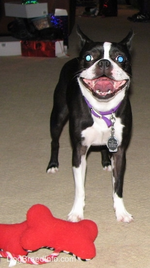 PJ the Boston Terrier standing next to her new red dog bone plush toys