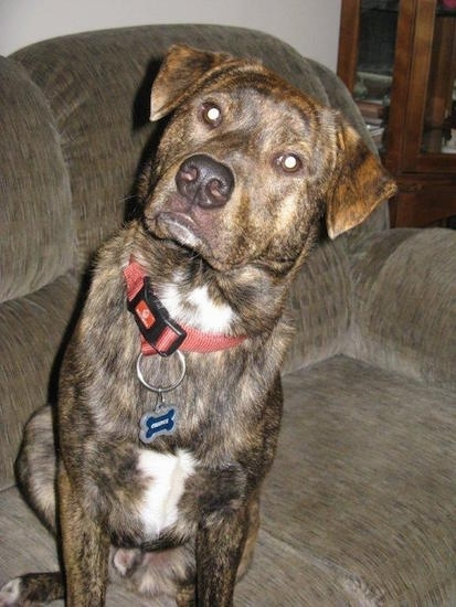 A brown brindle with white Box Heeler is sitting on a couch and its head is tilted to the right.
