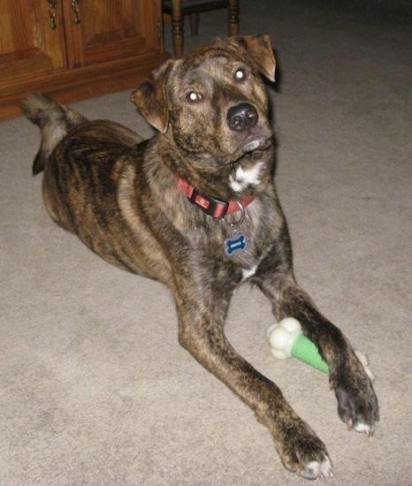 The front right side of a brown brindle with white Box Heeler that is laying on a carpet and its front left paw is overtop of a bone toy.