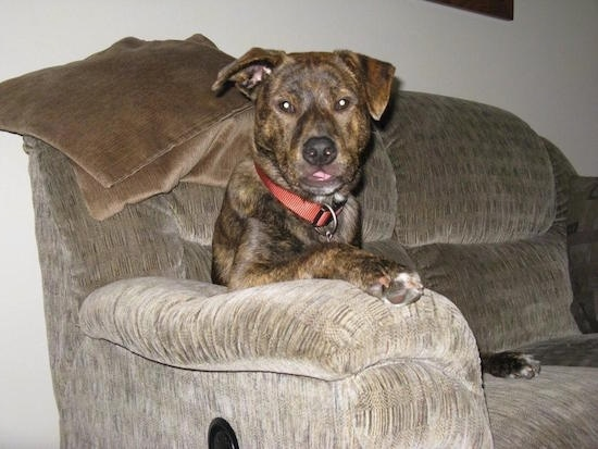 A brown brindle with white Box Heeler that is sitting in a chair. Its right paw is on the arm of the couch.