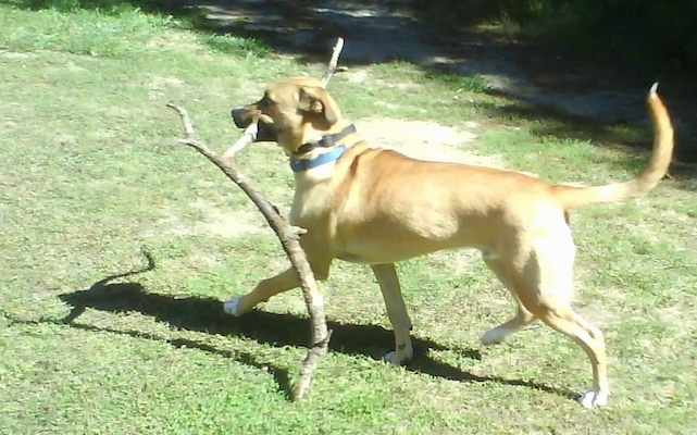Side view - a large tan with black large breed dog carrying a large tree branch across the grass with its tain up in the air.