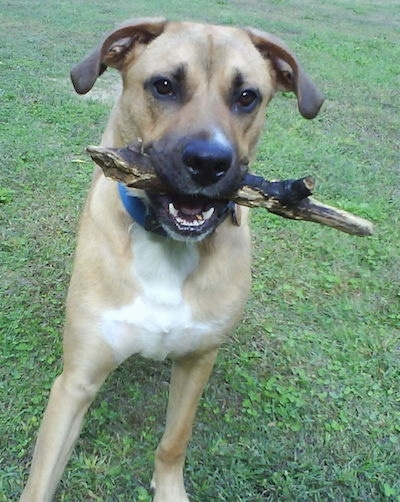 Front view - a tan with black and white large breed dog with a stick in its mouth and one paw in the air.