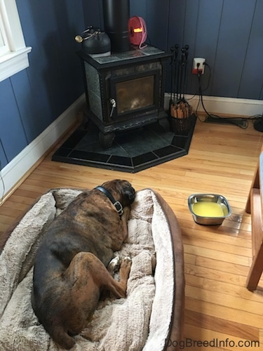 Bruno the Boxer laying on a dog bed in front of a wood burning stove