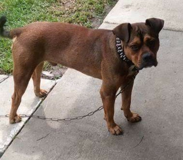 The right side of a brown with black Bullboxer Pit with wrinkles on its head, is wearing a black spiked collar, it is standing across a sidewalk, on a chain and next to a yard.