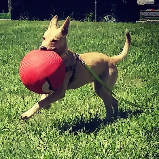 Action shot - A tan, large perk-eared dog running across grass with a big red dodge ball in its mouth.