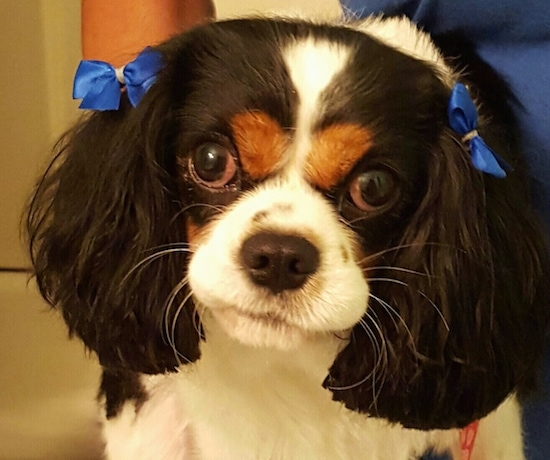 A tricolor Cavalier King Charles Spaniel with blue bows in her hair