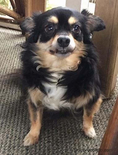 Front view - A tricolor longhaired Chihuahua sitting against a wooden chair. It has its ears pinned back and its bottom teeth are showing.