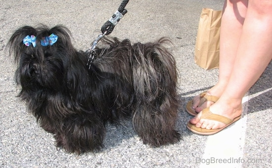 Apple the Imperial Shih Tzu is standing in a parking lot and it has a light blue ribbon in its hair. There is a person in sandals holding a paper bag behind it