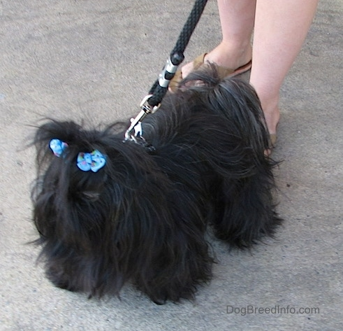Apple the Chinese Imperial Dog is standing on a sidewalk and there is a person behind her holding her leash