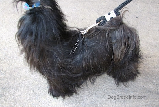 Side view - Apple the black longhaired Chinese Imperial Dog is standing in a parking lot