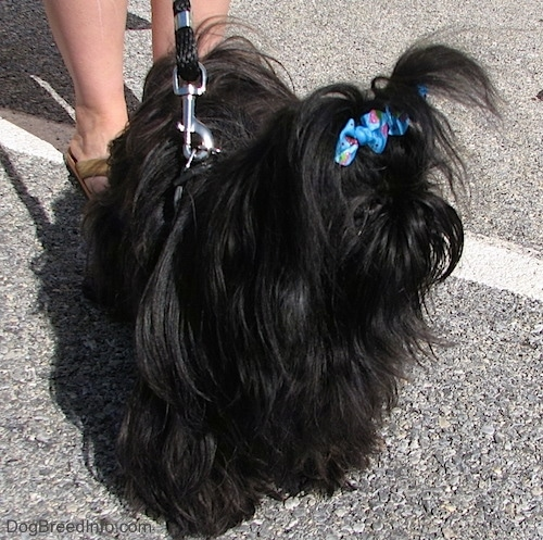 Apple the Chinese Imperial Dog is standing in a parking lot with two blue ribbons in her hair.