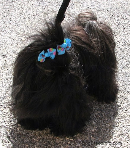 Apple the Chinese Imperial Dog is having her hair blown in the wind in a parking lot while on a leash