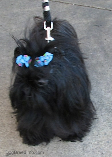 Apple the Chinese Imperial Dog is standing on a sidewalk looking to the left while on a leash with two blue ribbons in her hair