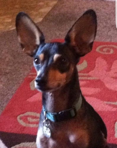 Shoeless Joe Jackson the black and tan ChiPin has very large ears and is sitting on a red rug