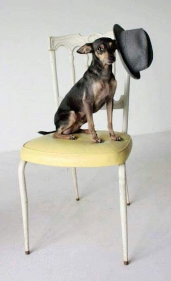Shoeless Joe 'Jackson' the black and tan ChiPin is sitting a yellow and white chair and there is a gray hat hanging on the corner of the chair