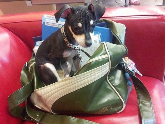 A tiny black and tan dog sitting on top of a greeb Puma handbag on a red leather couch