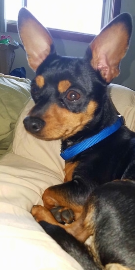 Bennie the black and tan Chipin wearing a blue collar laying down on the bed looking off into the distance with a window behind him