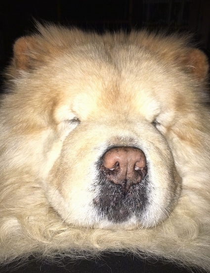 Close Up  head shot - Mocha Jo the cream Chow Chow with her eyes closed