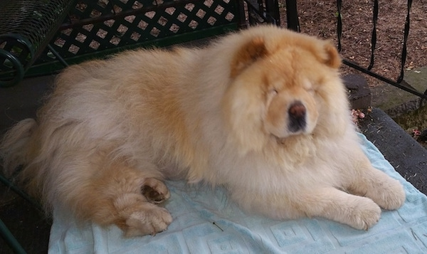 Mocha Jo the cream Chow Chow is laying outside on a blanket. She has a large head and her small eyes are closed