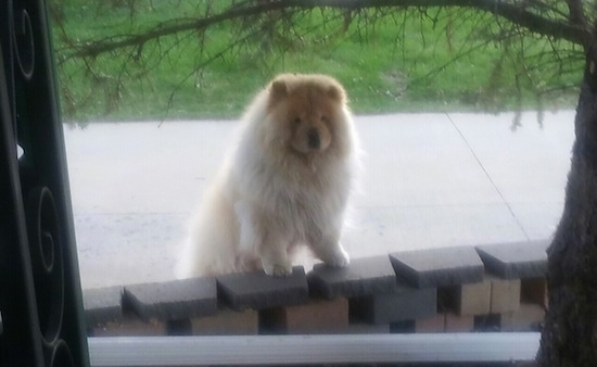 Fluffy Mocha Jo the cream Chow Chow is standing outside jumped up against a brick wall. She looks like a teddy bear.
