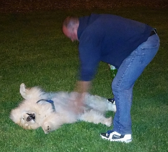 Mocha Jo the cream Chow Chow is laying on her back belly-up and being pet by a man in a blue shirt and jeans holding a green bottle of soda out in the grass at night