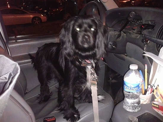 A medium-sized black dog standing in the front driver's seat of a car looking at the person taking the picture in the direction of the passenger's seat.