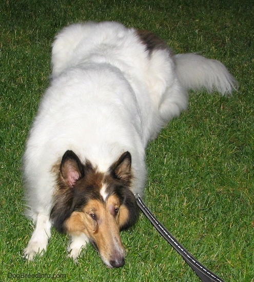 A long-snouted, large-breed long-coated furry dog with perk ears a white body and brown and black on its head laying down in the grass looking to the right. The dog has an eye infection.