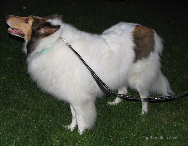 Side view - A long-snouted, large-breed long-coated furry dog with perk ears a white body and brown and black on its head standing in the grass facing the left.