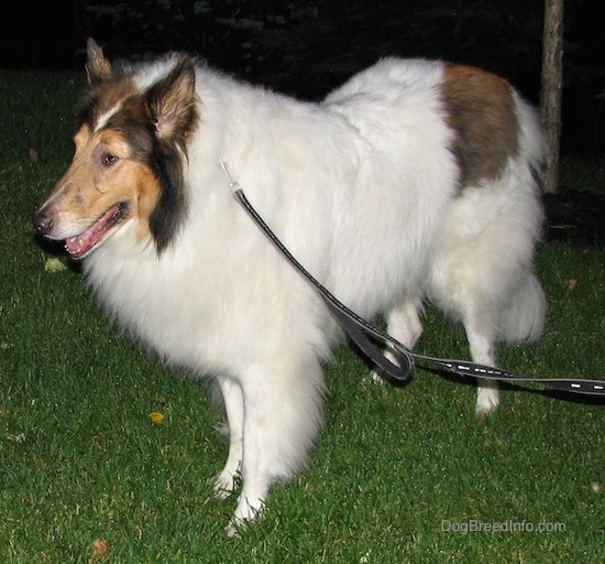 Side view - A long-snouted, large-breed long-coated furry dog with perk ears a white body and brown and black on its head wearing a black leash standing in the grass facing the left looking slightly downward.