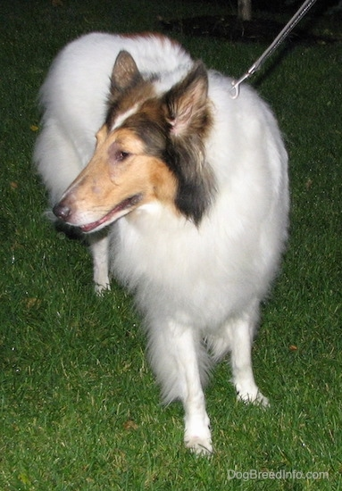 Front view - A long-snouted, large-breed long-coated furry dog with perk ears a white body and brown and black on its head standing in the grass looking to the left.