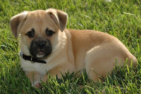 Griffin the Corgi Pug puppy wearing a black collar laying down in grass and looking at the camera holder