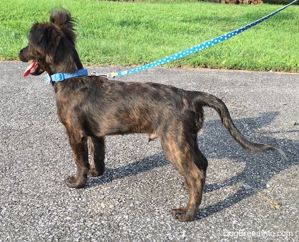 The backside of a panting, brindle mixed breed puppy wearing a blue collar standing on a black top surface while connected to a blue leash. It is holding its tail low.