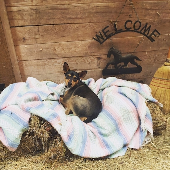 A perk-eared, tricolor, black, tan and white terrier dog laying down on a blanket on top of hay bales in front of a wooden barn wall. There is a black medal sign with a horse hanging on the wall that says 'Welcome' and a broom to the right of him.