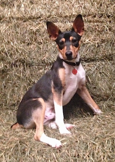 A perk-eared, tricolor, black, tan and white terrier dog in a barn leaning against hay bales.