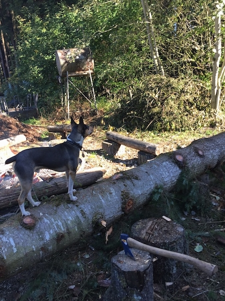 A perk-eared, tricolor, black, tan and white terrier dog outside up on top of a sideways tree that is being chopped up for firewood.