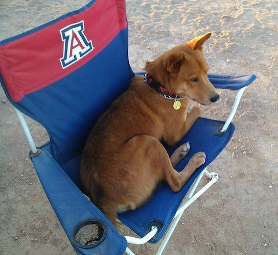 A dingo mixed with a dog sitting on a chair in the sand