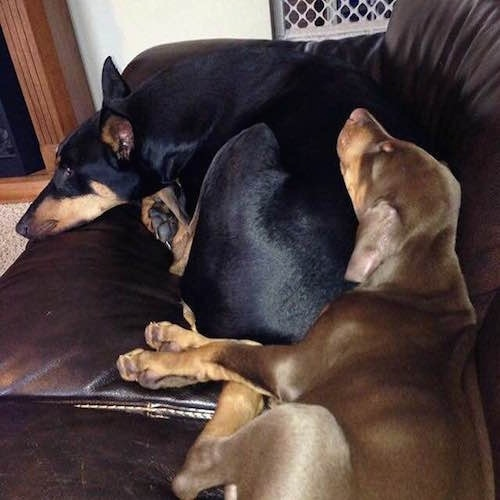 Ike the brown Doberman Pinscher is sleeping on the back of Nina the black and tan Doberman pinscher on a brown leather couch