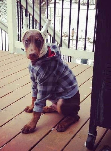 Ike the brown Doberman pinscher puppy has his ears taped up and he is wearing a jacket. Ike is sitting on a wooden deck and there is snow all over the ground behind him.
